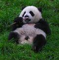 Panda feasting