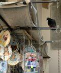 Curious pigeon, Venice
