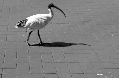 Wandering Ibis