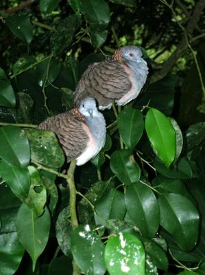 Queensland love-birds