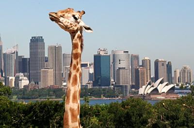 Sydney Opera House and passing giraffe
